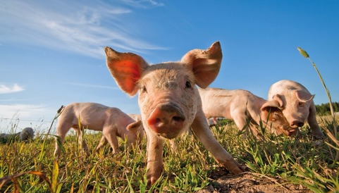 pig meat, pigs, research, agricultural science, livestock
