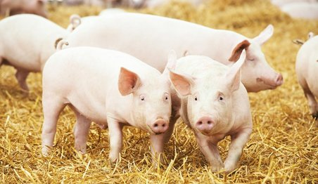 pig meat, pig research, swine fever